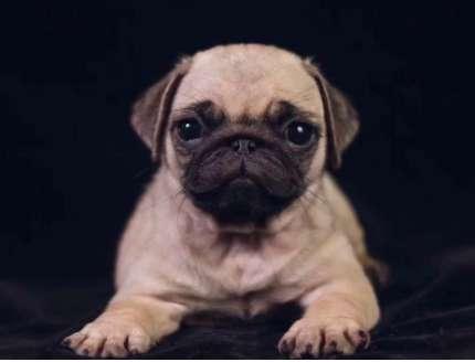 巴哥幼犬怎么养 饲养环境须知