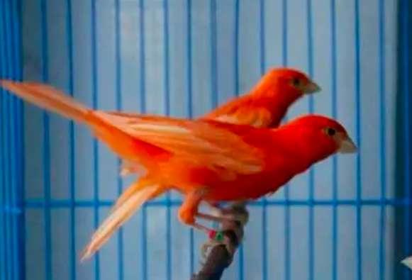 如何预防芙蓉鸟得病?