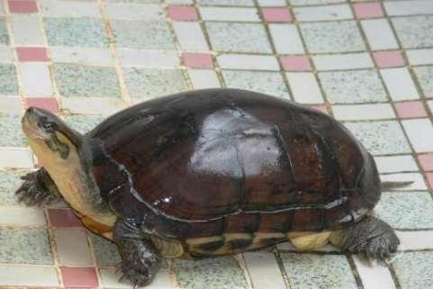 石龟养殖的三个注意事项