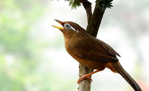 画眉鸟叫声嘶哑怎么办?