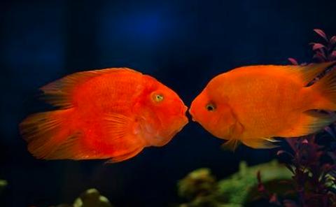鹦鹉鱼的品种介绍