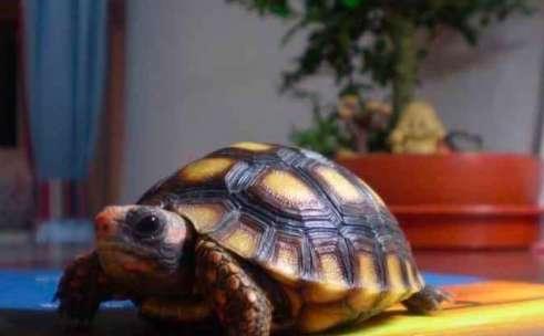 红腿象龟所需的生活环境