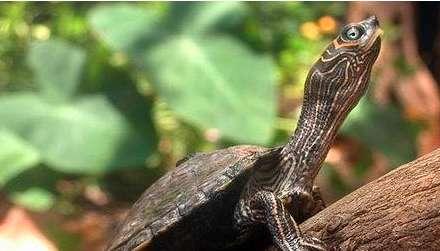 陆龟结石的成因与日常防预