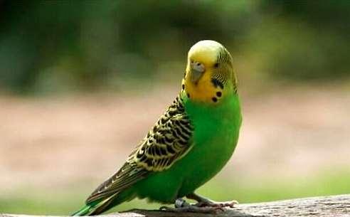 虎皮鹦鹉繁殖期间注意事项?