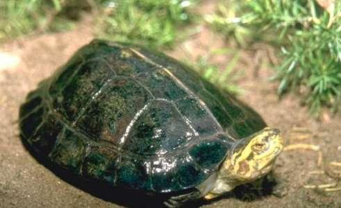 鹰嘴龟的饲养环境