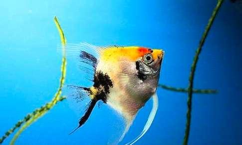 如何分辨七彩神仙鱼的雌雄?