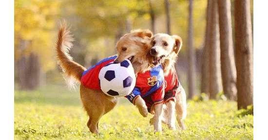 狗狗的健康需要多少运动量才合适?狗狗训练!