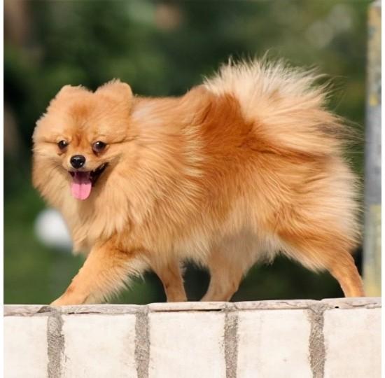 十大最受欢迎宠物狗