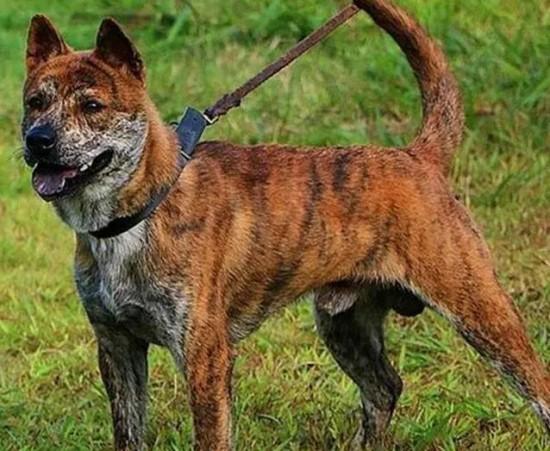 最好看的猎犬没有之一:虎斑犬