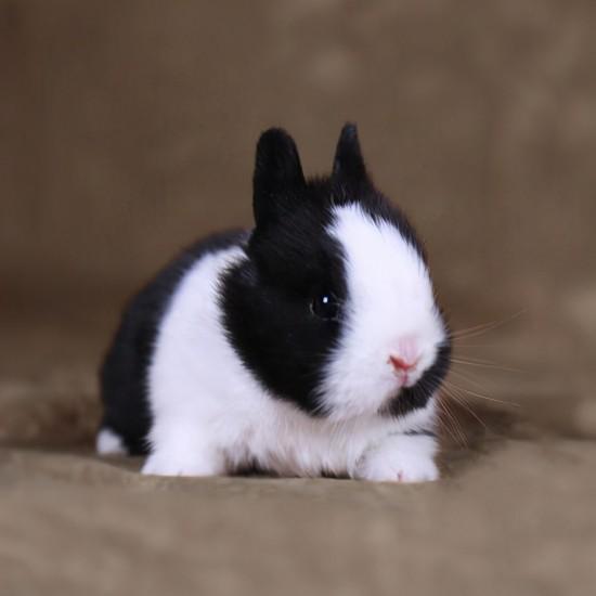 宠物兔价格及品种,一般宠物兔多少钱一只