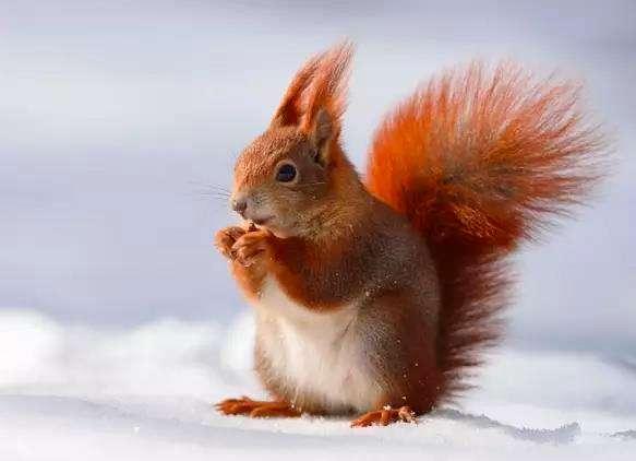 雪地松鼠饲养知识