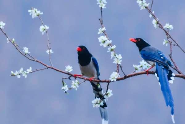 红嘴蓝鹊生活环境