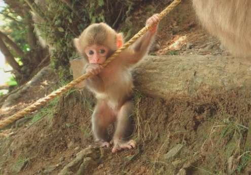 日本袖珍石猴生活环境