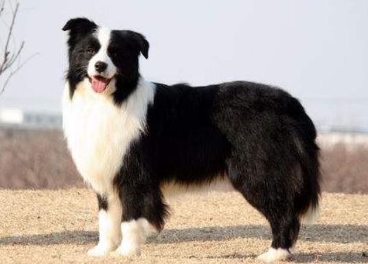 什么狗狗最聪明