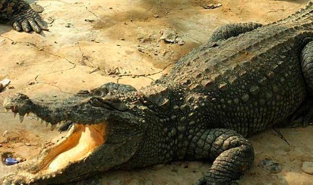 鳄龟怎么养?小心翼翼谨慎饲养