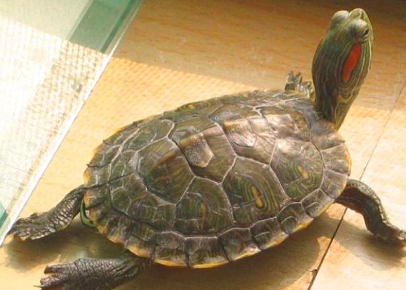 巴西龟可以干养吗?巴西龟可以干养多久?