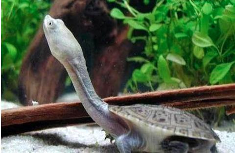 长颈龟为什么没人养?长颈龟怎么养?