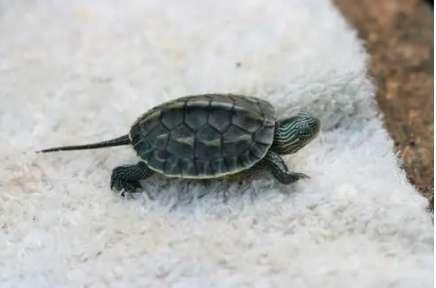 小珍珠龟怎么养?珍珠龟能长多大?