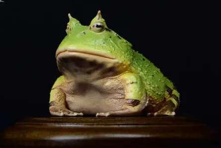 角蛙新手入门饲养教程