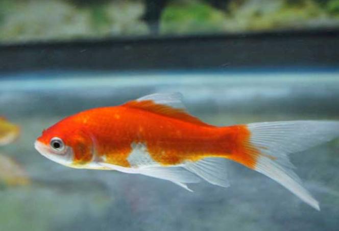 提高金鱼存活率的饲养方法?