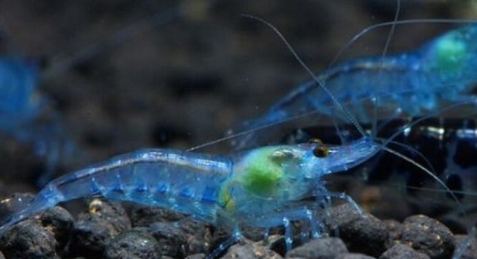 观赏虾养殖方法介绍 观赏虾怎么养?