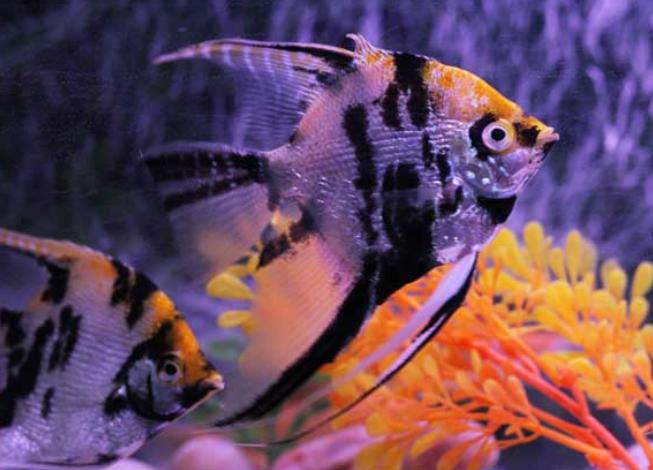 神仙鱼应该怎么养?