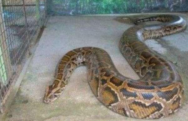 蟒蛇过冬 告诉你球蟒冬眠怎么办