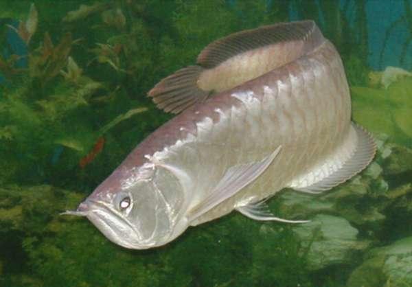 银龙鱼到底长什么样子?