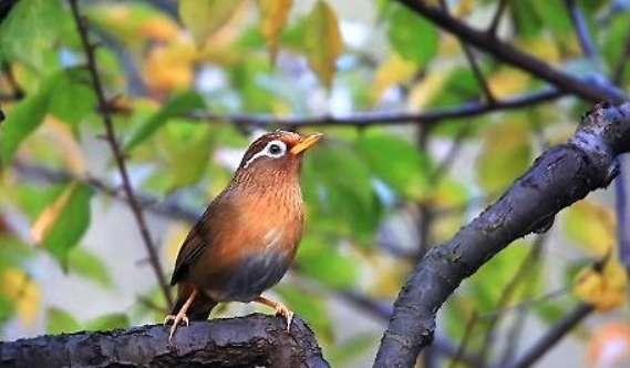 怎么挑选画眉鸟?