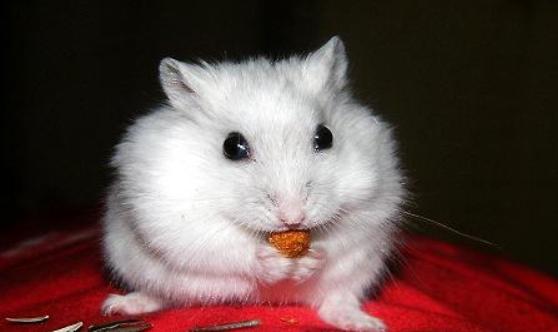 银狐仓鼠不能喂哪些食物?