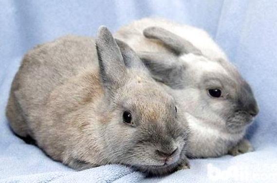 如果兔子一直不发情怎么办?