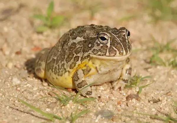 非洲牛蛙怎么养?非洲牛蛙饲养