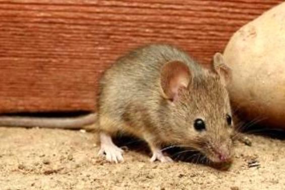 老鼠怕什么?老鼠怕什么东西?