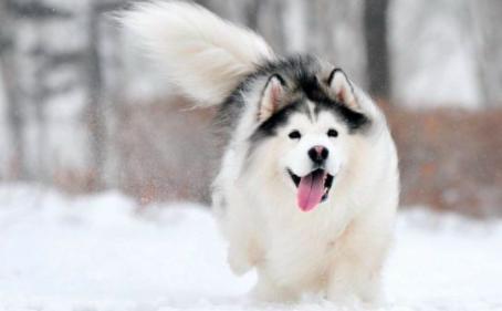 阿拉斯加雪橇犬幼犬的管理方式
