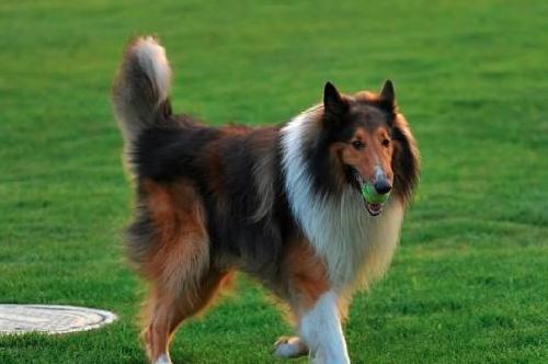 冬季寒冷要运动 苏格兰牧羊犬冬季运动指南