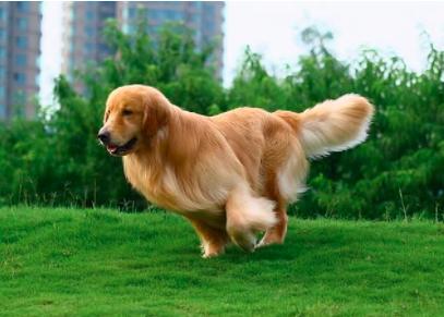 训练金毛幼犬的最佳时间