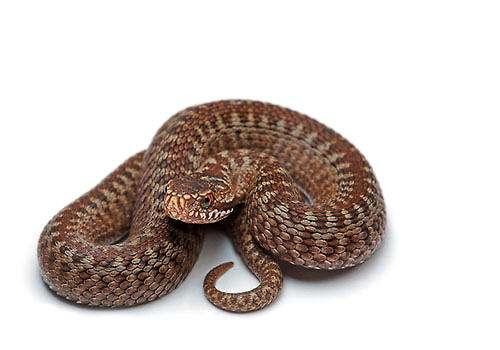 喂蟒蛇吃鸡腿有什么影响?